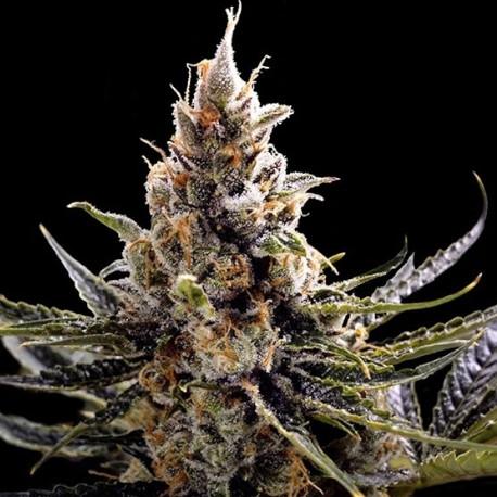 how to plant a marijuana seed